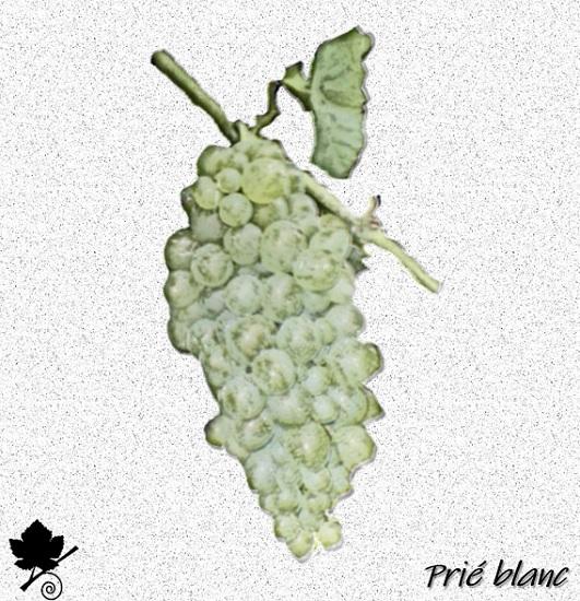 Prié blanc - vitigno