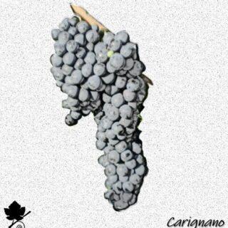 Carignano - vitigno