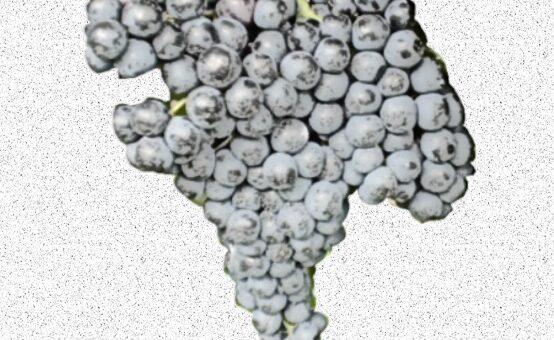 Ciliegiolo - vitigno