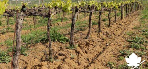 Effetto del suolo nella produzione del vino 2
