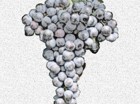 Cabernet franc - vitigno