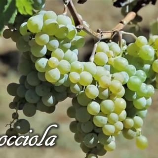 Cococciola - vitigno
