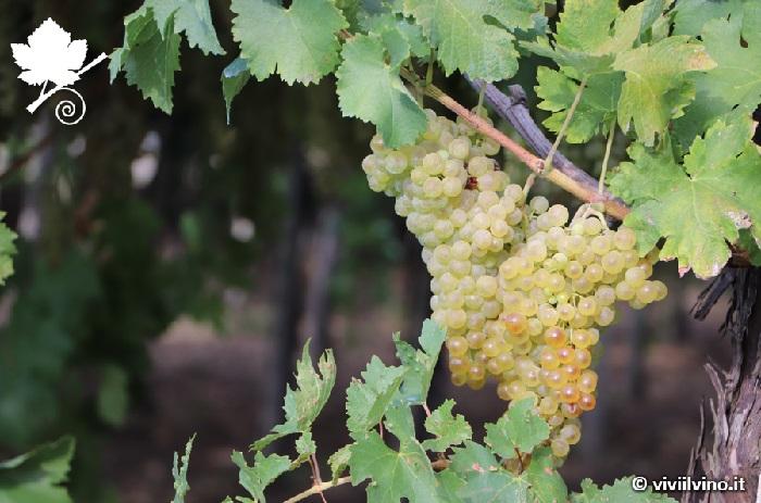 Terroir e vitigno