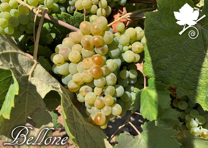 Bellone vitigno grappolo