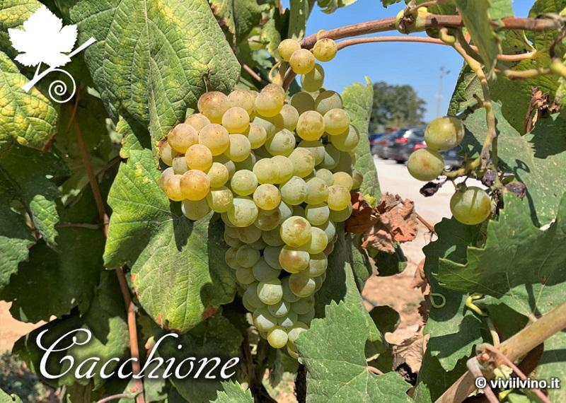 Cacchione vitigno